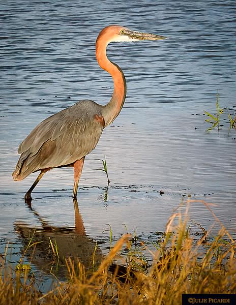 Goliath Heron Fishing