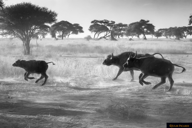 Impressionistic Scene in B&W of  Cape Buffalo Running Across the Road in Africa