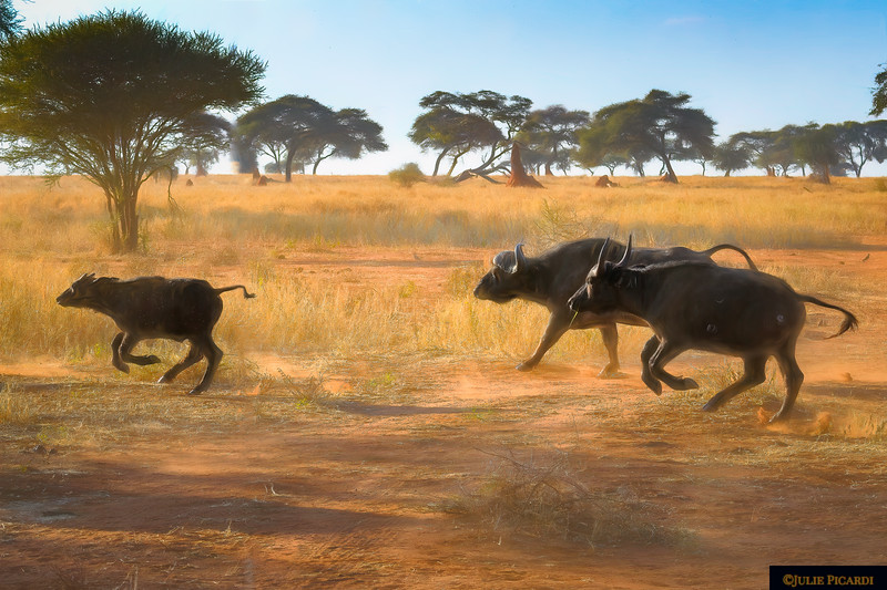Impressionistic Scene of  Cape Buffalo Running Across the Road in Africa