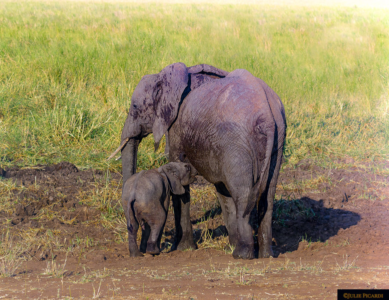 Elephant Mother Nurses Baby