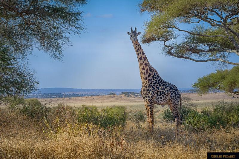 Giraffe Posing in Scenic Landscape
