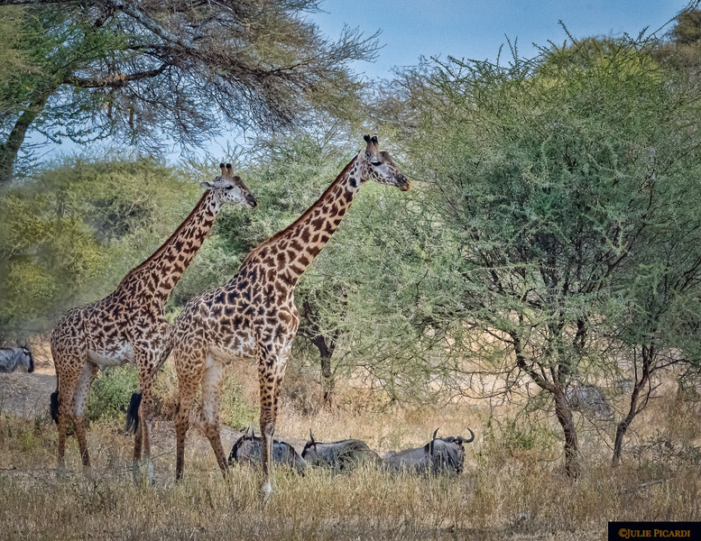 Giraffes Mingle With Wildebeests in Tarangire National Park