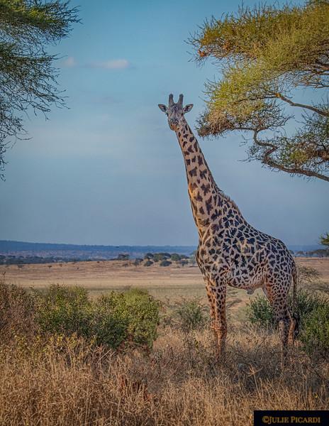 Giraffe Posing in Scenic Portrait