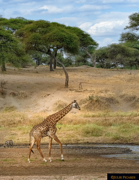 A Giraffe Ambles Toward the Water as a Warthog Drinks at the Edge.