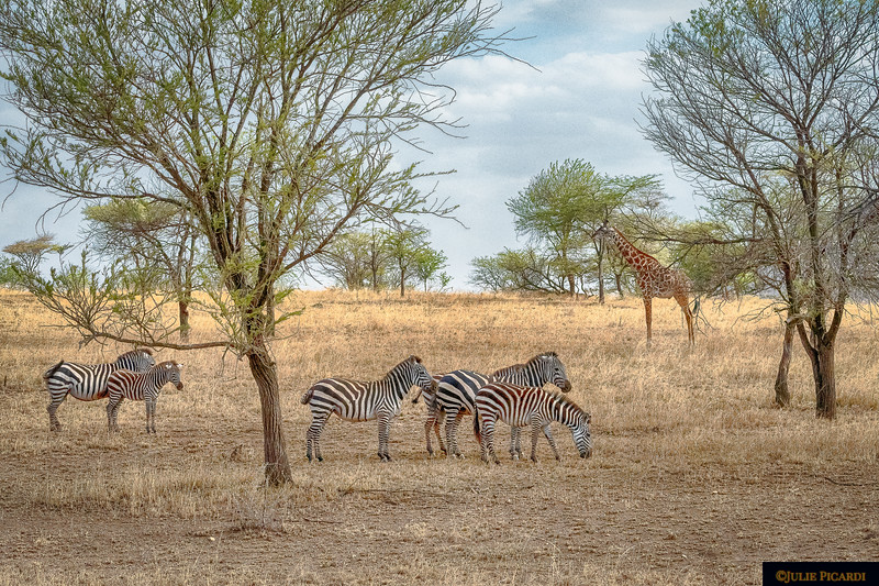 Zebras and Giraffe Graze Peacefully Together