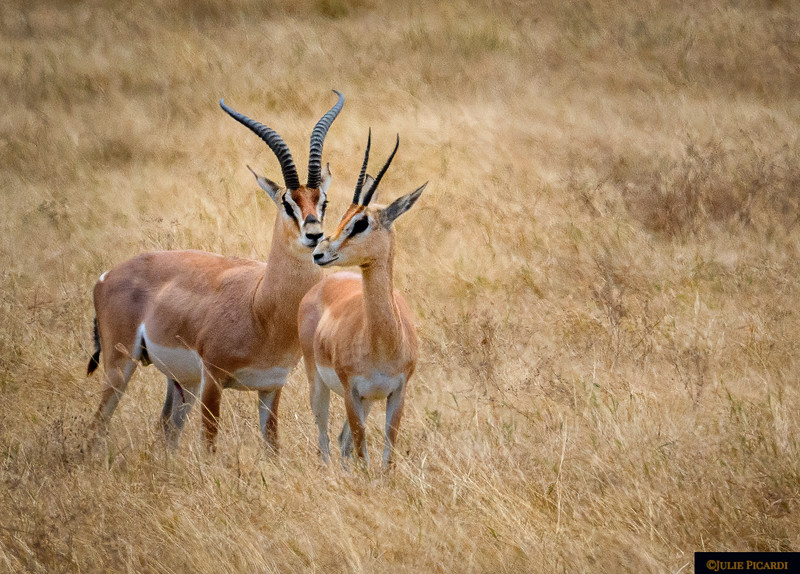 Buck and doe Grant's Gazelle