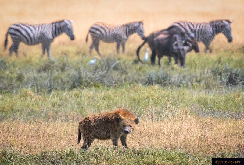 A hyena stops to look around.