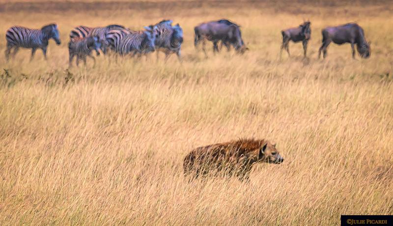 Hyena on the hunt
