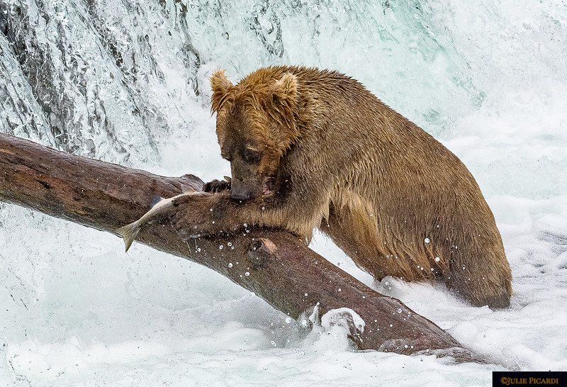 This young bear has figured out how to use the log for assistance.
