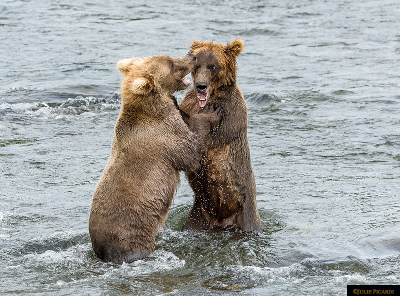 Two young bears practice their battle skills.