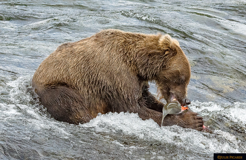 Wasting no time, this bear begins his dinner in the river.