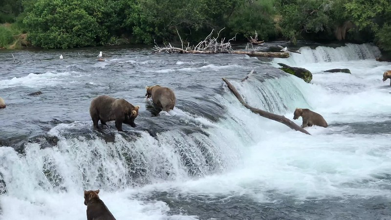VIDEO: Catching salmon at the top of Brooks Falls