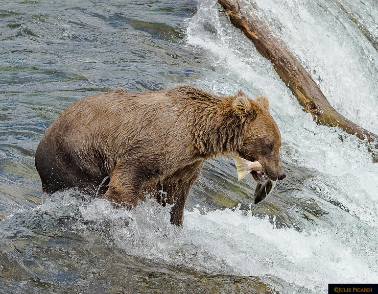 This bear looks tired after finally getting a hold on his fish.