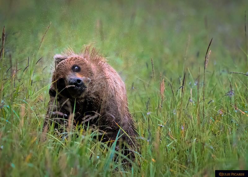 Bear Shakes Rain Off