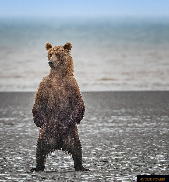 Standing Grizzly Bear Close-Up