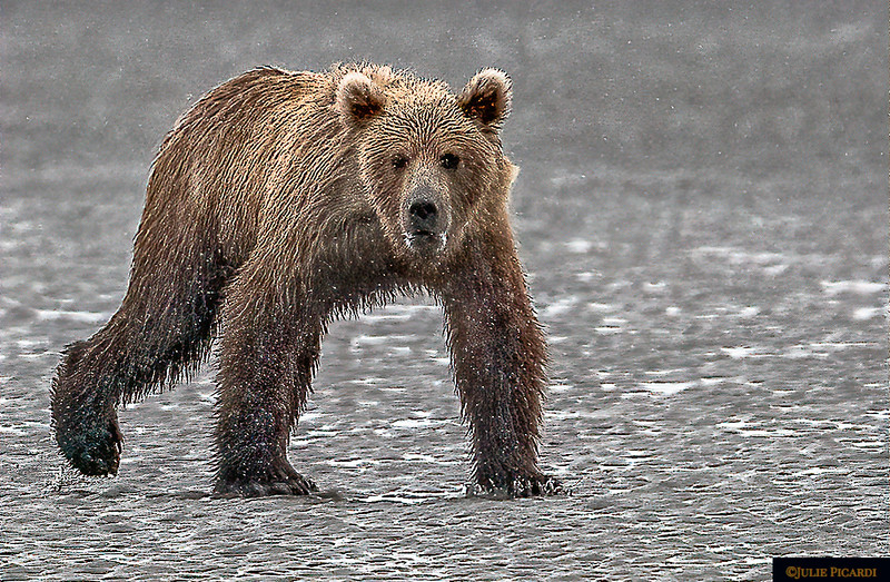 Close up of  Eye Contact With a Grizzly Bear  As He Patrols the Cook Inlet Beach - Landscape Aspect