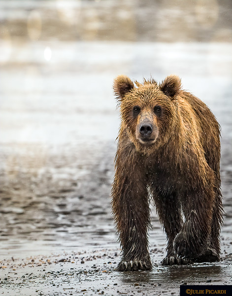 Alaskan Grizzly Bear Patrols the Mud Flats