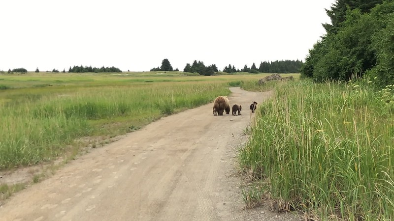 VIDEO: Mama Bear and cubs walk away down the road