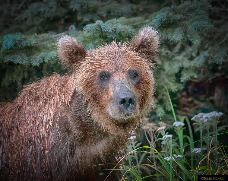 Portrait of a coastal grizzly bear front view