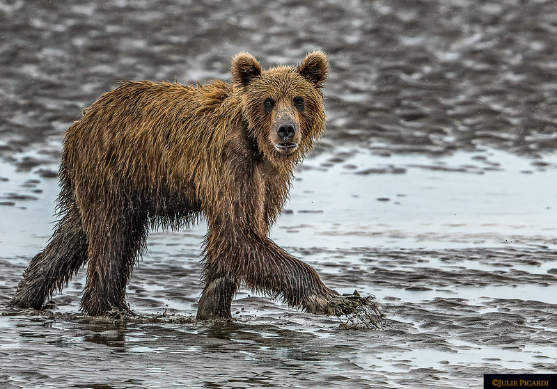 Alaskan Grizzly Bear  Steps Across the Mud Flats Portrait Aspect