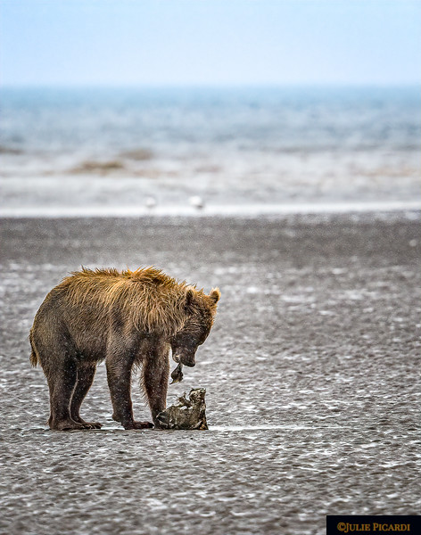 Alaskan Grizzly Bear Finds Lunch on the Beach, Portrait Aspect