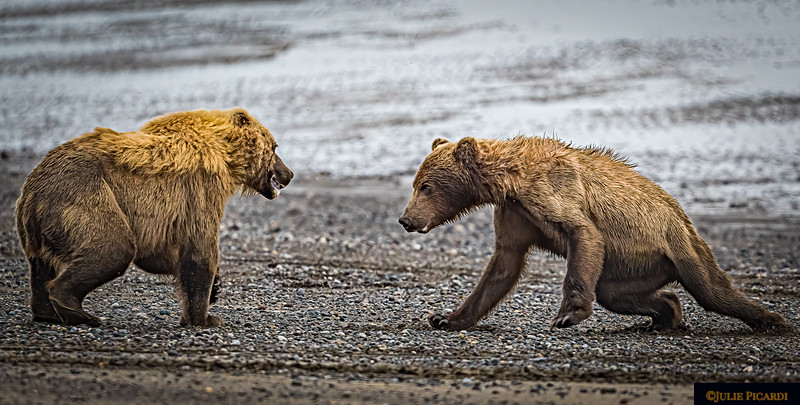 Two young bears get testy with each other