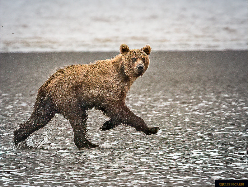 Grizzly Bear at Cook Inlet