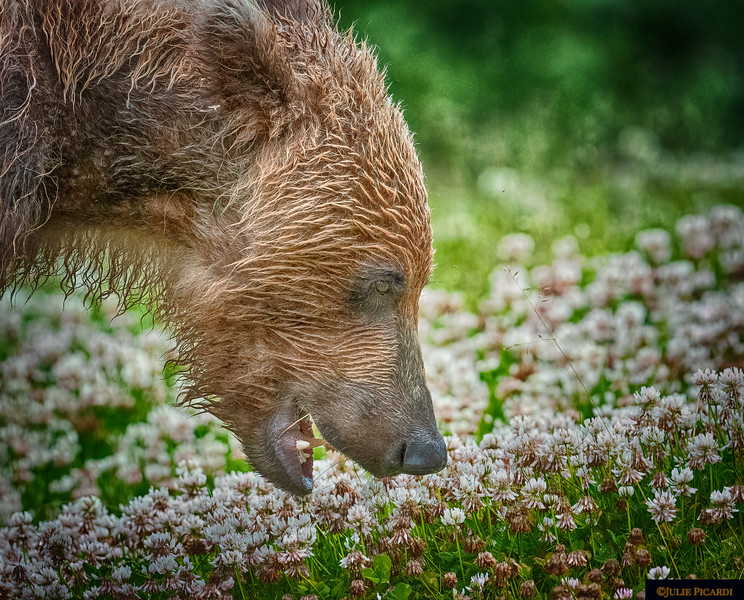 Grazing in the clover