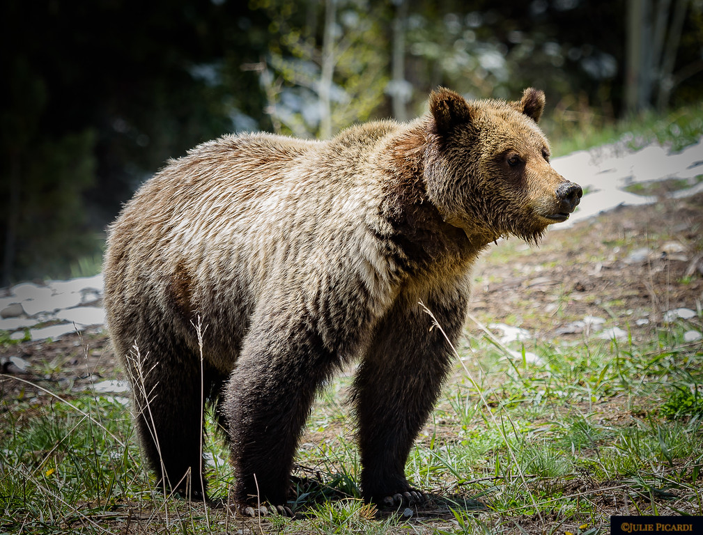 This a female grizzly we found at the top of Togwotee Pass just outside of Teton National Park. We named her Felicia, and she posed for us here. I think she is one of the prettiest bears I've seen.