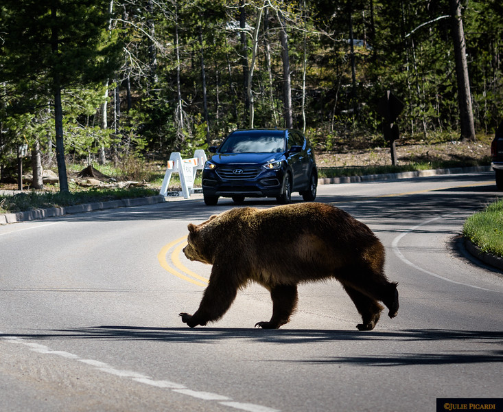 Big Brutus crossing the road in Teton National Park, probably hunting down his girlfriend.