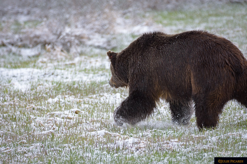 They called this guy Brutus. He is an enormous grizzly bear boar, on a mission seeking out a female to romance.