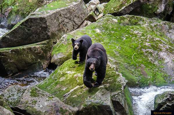 Mama bear appears at the fishing hole with her young cub....
