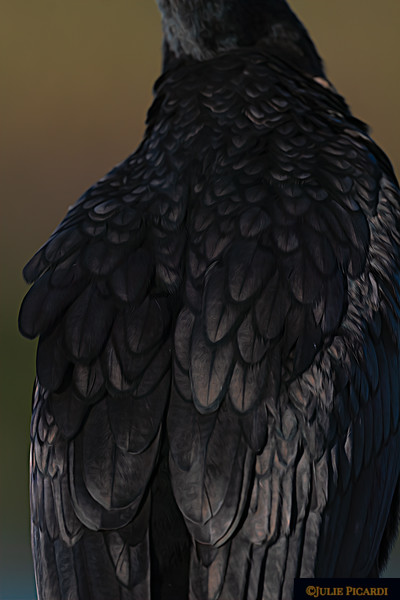 Iridescent black feathers of a Double-Crested Cormorant