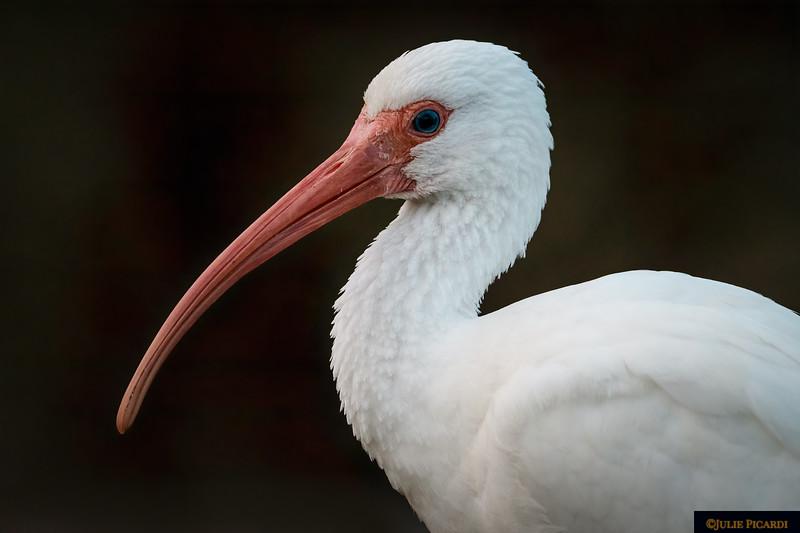 White Ibis Poses