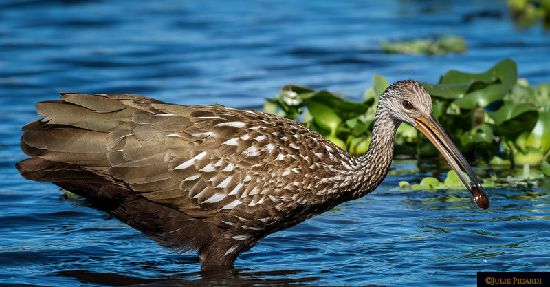 Limpkin finds a snack