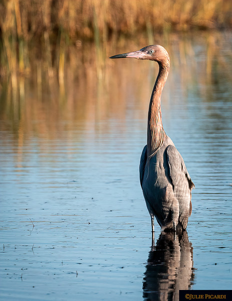Reddish Egret in morning ight