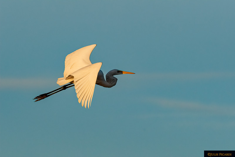 Great Egret in Flight