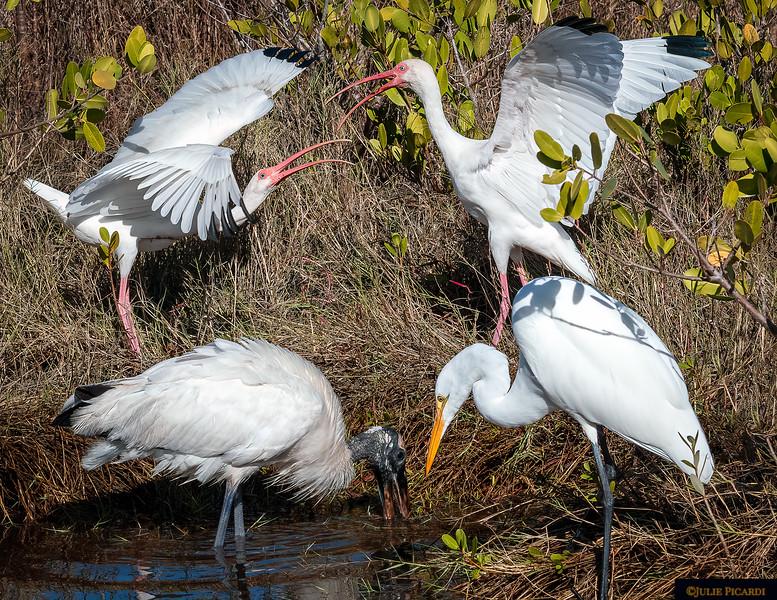 Quarreling Ibis