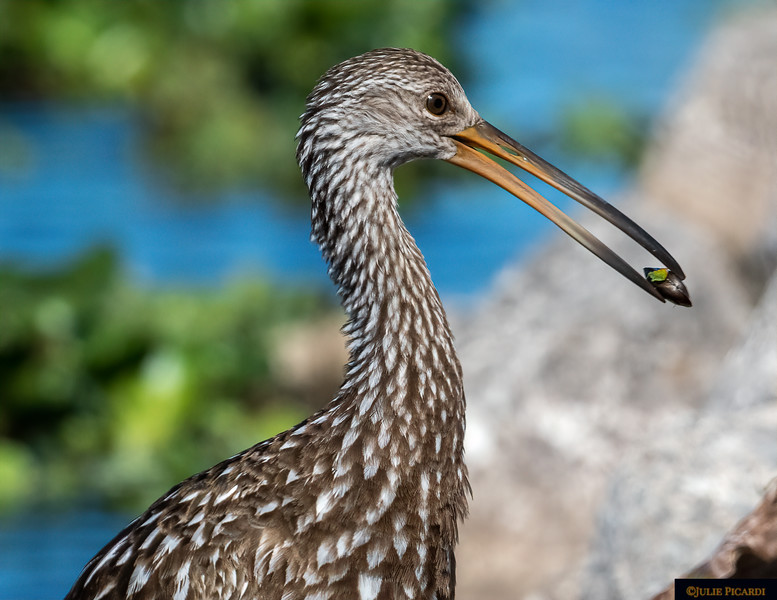 Limpkin finds a shelled mollusk