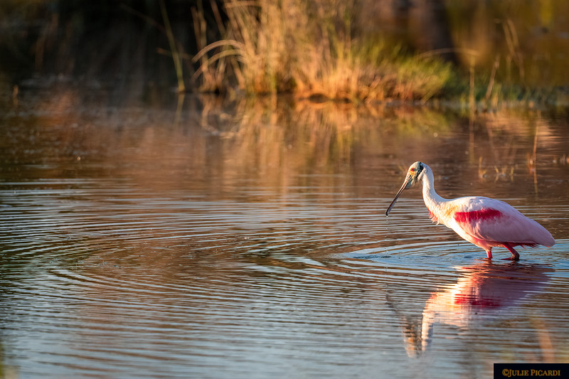 Roseate Spoonbill Fishing Environmental Portrait