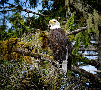 Mature bald eagle spotted on a cruise in Sitka Bay.