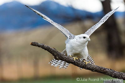 Gyrfalcon ready for take-off.