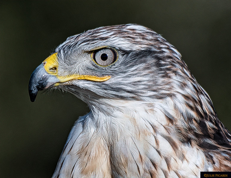 Profile of a Ferruginous Hawk