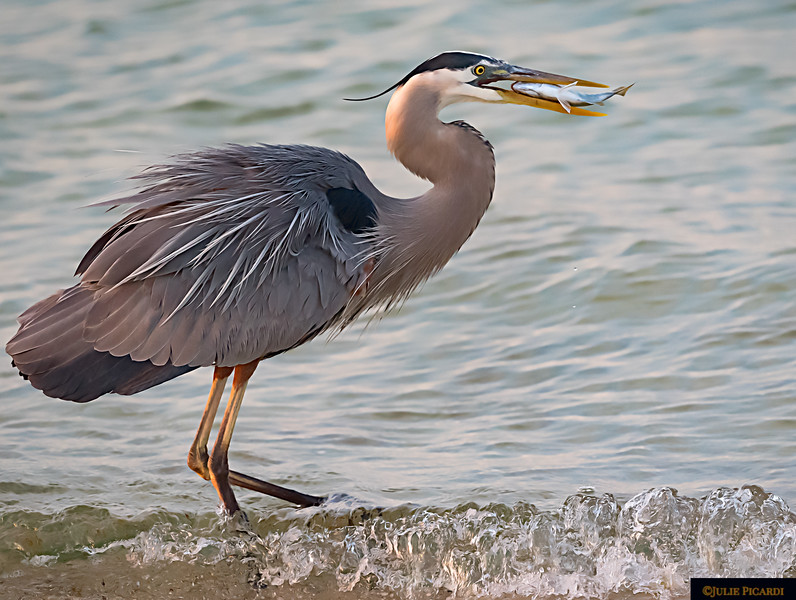 A nice catch for this Great Blue Heron.