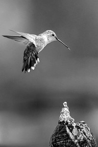 Broadtail Hummingbird in B&W