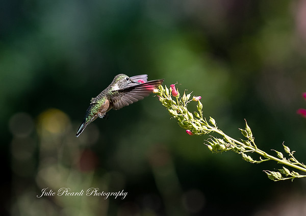 160816HummingbirdsPrint034-2