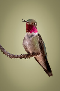 Male Broadtail Hummingbird