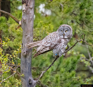ON YOUR MARK! This great gray owl has spotted something of interest.