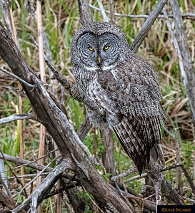Portrait of a Great Gray Owl. Moose Pond May 2018