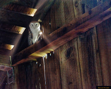 This barn owl was deeply hidden in the large, dark recesses of an old, deserted dairy barn., silent watching visitors come and go.